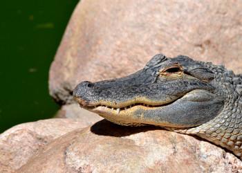 Walt Disney World insabbia la verità sulla presenza degli alligatori